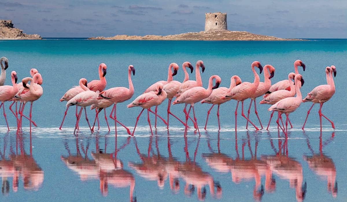 фламинго на Сардинии